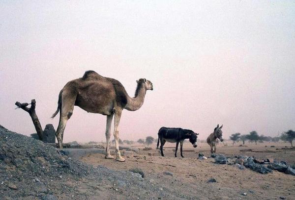 2736camel-donkey-mali-north-africa-2736a