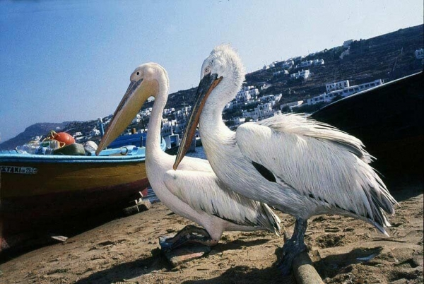 2837pelicans-of-mykonos-greek-islandsa